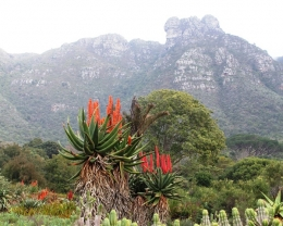 Aloe plants blooming in Kirstenbosch gardens
