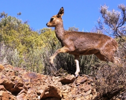 Klipspringer walking over rocks